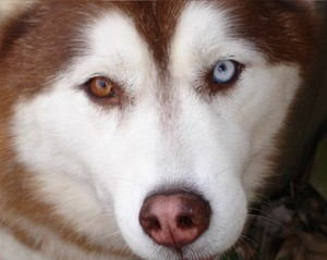 Odd-Eyed Husky