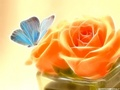 On a Rose - butterflies wallpaper