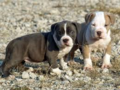 Pitbull Puppies - puppies photo