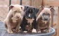 Pitbull Puppy - puppies photo