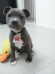 Pitbull कुत्ते का बच्चा, पिल्ला