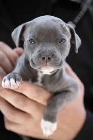 Pitbull cún yêu, con chó con