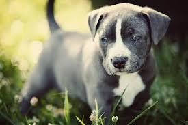 Pitbull کتے