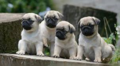 Pug Puppies - puppies photo