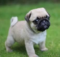 Pug 子犬