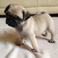 Pug Puppy - puppies photo