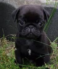 Pug cún yêu, con chó con