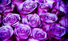 Purple mga rosas