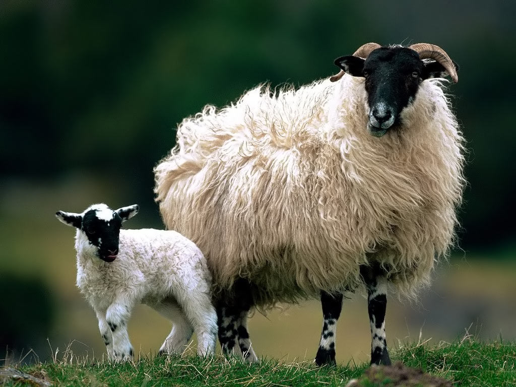 Sheep Images HD Wallpaper And Background Photos 39621153 Image Source From This