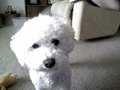 bichon Molly