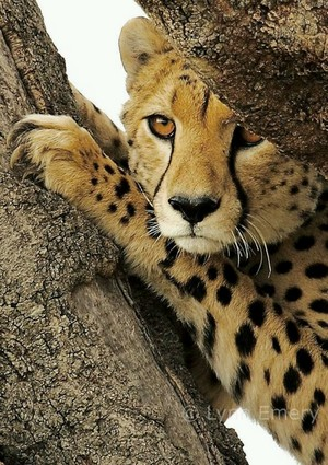 Cheetah Tree