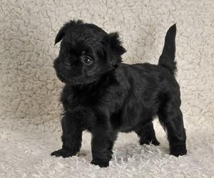 Affenpinscher कुत्ते का बच्चा, पिल्ला