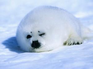 Baby Harp zeehond, seal