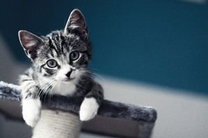 Black and White Tabby Kitten