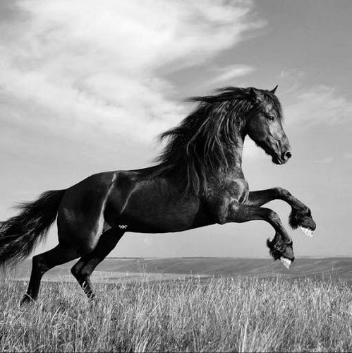 Black and white photography wallpaper probably containing a steeplechaser a horse wrangler and a