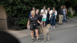 Cheetah on a leash at the San Diego Zoo