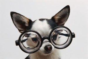chihuahua with Glasses