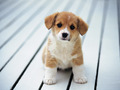 Cute Puppy - dogs wallpaper