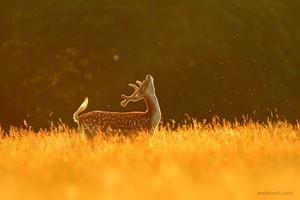 Deer upigaji picha