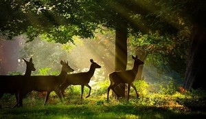 Deer in Sunlight