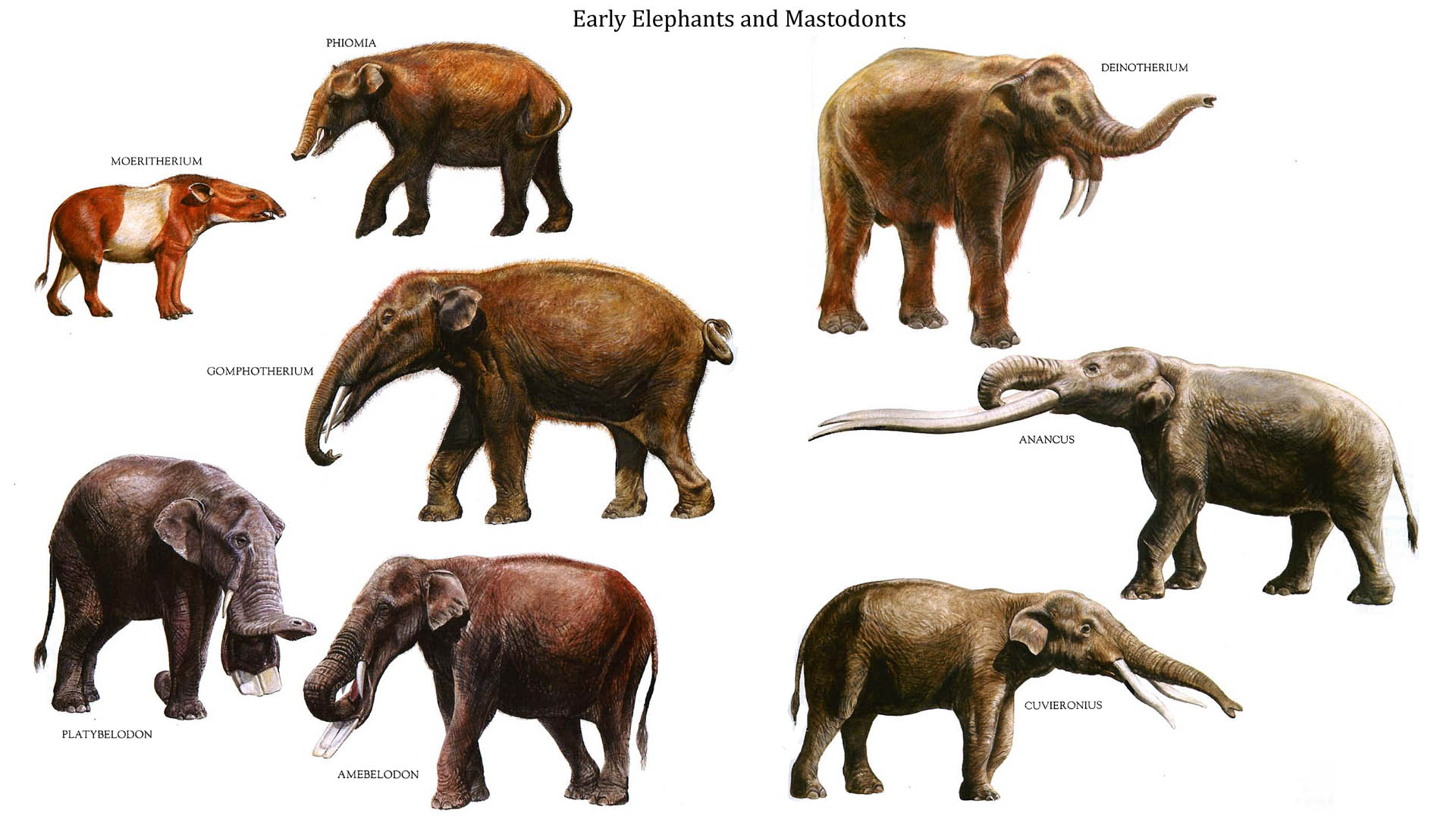 Early Elephants and Mastodonts