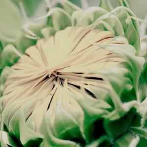 bunga 38