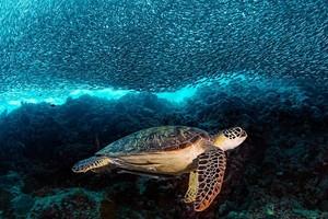 Hawksbill Sea rùa, con rùa