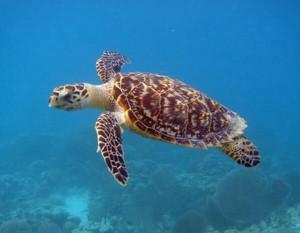 Hawksbill Sea черепаха