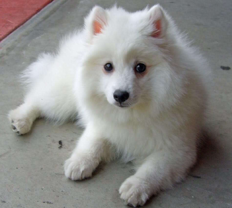 Dogs Images Japanese Spitz Puppy Hd Wallpaper And Background Photos