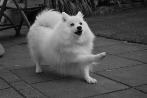 Japanese loulou, spitz