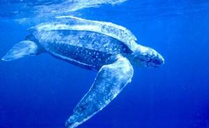 Leatherback Sea черепаха