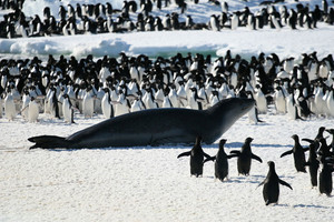 Leopard Seal and Penguins