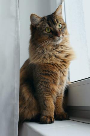 Lyalya the Somali Cat