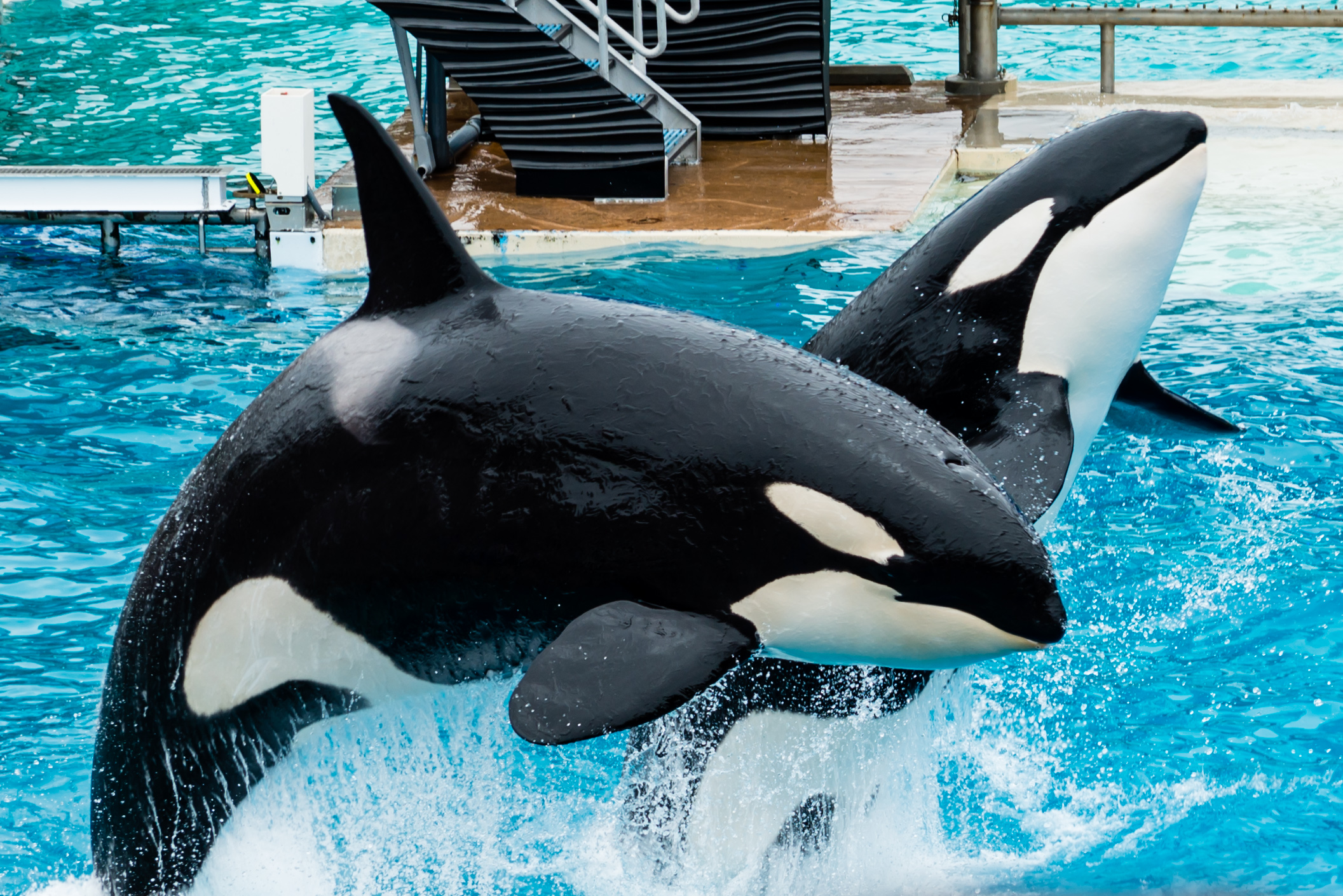 Seaworld images orcas leaping hd wallpaper and background photos seaworld images orcas leaping hd wallpaper and background photos thecheapjerseys Images