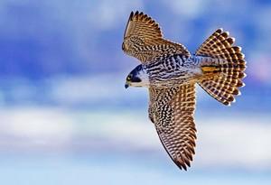 Peregrine elang, falcon