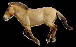 Przewalki's Horse