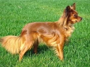 Russkiy terrier