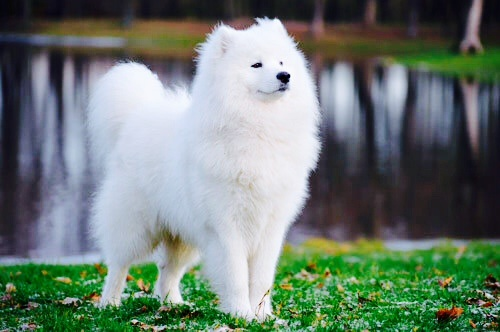 Dogs wallpaper probably containing a samoyed called Samoyed