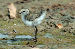Spotted sandpiper, سندپاپر Chick