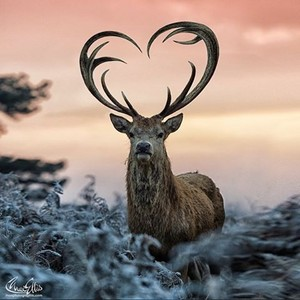 олень With Heart-Shaped Antlers