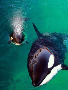 baby Orca whit its Mother