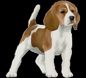 Razas de beagle adultos
