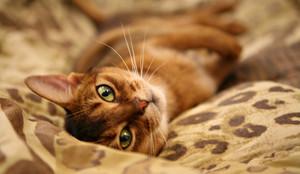 Aby Cat