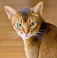 Abyssinian Cat - cats photo