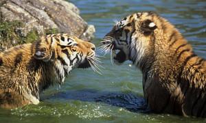 Amur Harimau