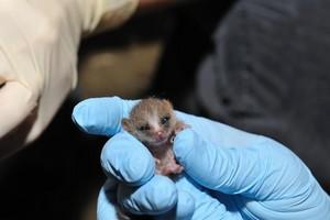 Baby мышь лемур