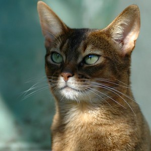 Beautiful Abyssinian Cat Green Eyes