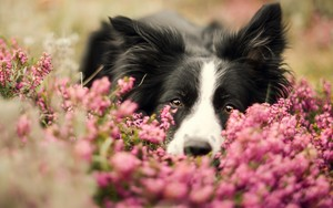 border collie, border-collie
