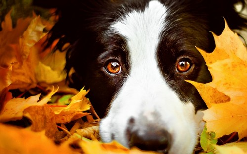 Dogs Images Border Collie Hd Wallpaper And Background