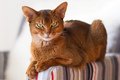 Cat Abyssinian - cats photo